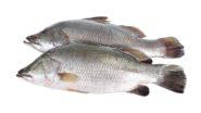 Baby Barramundi Whole Fish 102398145